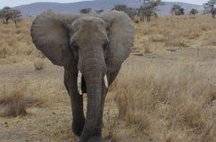 Elefante africano en primer Imagen de archivo