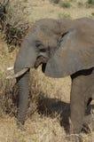 Elefante africano en primer Imágenes de archivo libres de regalías