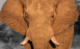 Elefante africano en Suráfrica Imagen de archivo libre de regalías