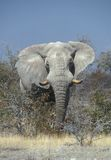 Elefante africano enorme immagine stock