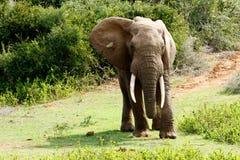 Elefante africano enorme de Bush de la empresa la derecha Fotos de archivo
