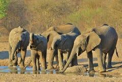 Elefante, africano - fondo de la fauna de África - escuela de adolescentes Fotografía de archivo libre de regalías