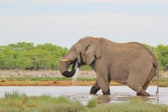Elefante, Africano - fondo della fauna selvatica - acqua e vita Immagine Stock Libera da Diritti