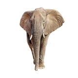 Elefante africano Front View Isolated imágenes de archivo libres de regalías