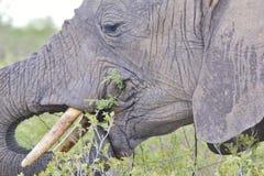 Elefante africano - fundo dos animais selvagens - que come para a vida imagem de stock