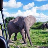 Elefante africano gigantesco no savana selvagem (parque nacional Chobe, B fotografia de stock royalty free