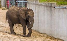 Elefante africano giovanile con le piccole zanne, specie animale vulnerabile dall'Africa fotografie stock