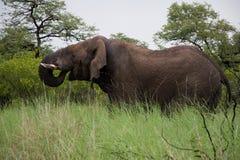 Elefante africano grande Imágenes de archivo libres de regalías