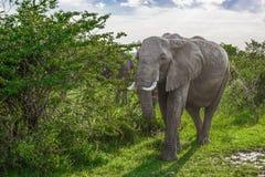 Elefante africano grande que anda através dos arbustos no parque nacional de Maasai Mara (Kenya) Fotos de Stock