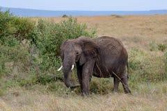 Elefante africano isolado nas pastagem de Masai Mara, Kenya fotografia de stock royalty free