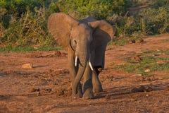 Elefante africano joven listo para asaltar Imagenes de archivo