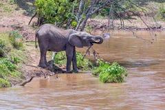 Elefante africano joven que bebe de Mara River Fotos de archivo libres de regalías