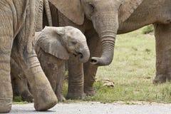 Elefante africano joven que es tocado por su miembro de la familia con su tronco fotos de archivo libres de regalías