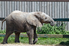 Elefante africano (Loxodonta) Imagen de archivo libre de regalías