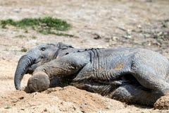 Elefante africano (Loxodonta) Foto de archivo libre de regalías