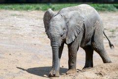Elefante africano (Loxodonta) Imágenes de archivo libres de regalías