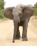Elefante africano (Loxodonta Africana) Foto de Stock Royalty Free