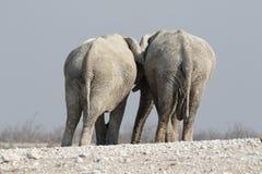 Elefante africano, loxodonta africana Immagine Stock Libera da Diritti