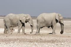 Elefante africano, loxodonta africana Fotografie Stock