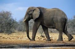 Elefante africano (loxodonta africana) che cammina sulla savana Fotografia Stock