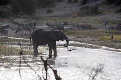 Elefante africano, Loxodonta a africana, en el río de Boteti, parque nacional de Makgadikgadi, Botswana fotos de archivo libres de regalías