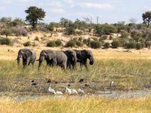 Elefante africano, Loxodonta a africana, en el río de Boteti, parque nacional de Makgadikgadi, Botswana fotografía de archivo libre de regalías