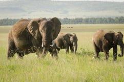 Elefante africano in masai Mara National Reserve, Kenya Fotografia Stock Libera da Diritti