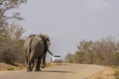 Elefante africano maschio selvaggio del cespuglio che cammina sulla strada nel parco di Kruger Immagine Stock