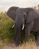 Elefante africano masculino fotos de archivo libres de regalías