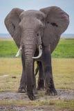 Elefante africano masculino grande no parque nacional de Amboseli (Kenya) Fotos de Stock Royalty Free