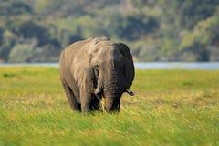 Elefante africano na grama verde, parque nacional de Chobe, Botswana Fotografia de Stock