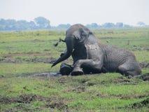 Elefante africano na lama imagem de stock