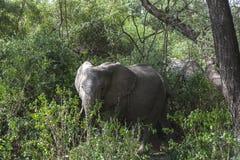 Elefante africano na selva foto de stock royalty free