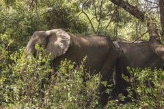 Elefante africano na selva imagem de stock