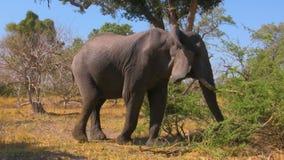 Elefante africano nel cespuglio stock footage