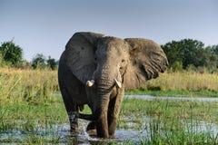 Elefante africano nel fiume di zambesi Fotografie Stock