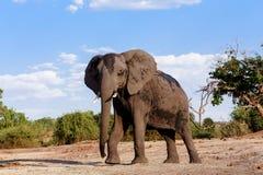 Elefante africano nel parco nazionale di Chobe Fotografie Stock Libere da Diritti