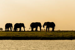 Elefante africano nel parco nazionale di Chobe Fotografie Stock