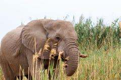 Elefante africano nel parco nazionale di Etosha Fotografia Stock