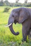Elefante africano nel selvaggio fotografie stock