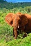 Elefante africano nel selvaggio Immagini Stock Libere da Diritti