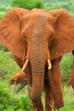 Elefante africano nel selvaggio Fotografia Stock
