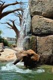 Elefante africano nell'ambiente naturale che sta sotto l'acqua Fotografia Stock Libera da Diritti