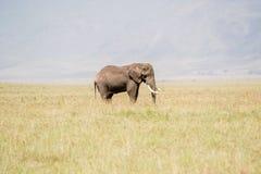 Elefante africano nella sosta nazionale di Serengeti Immagini Stock