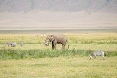 Elefante africano nella sosta nazionale di Serengeti Fotografia Stock Libera da Diritti