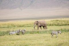 Elefante africano nella sosta nazionale di Serengeti Fotografia Stock