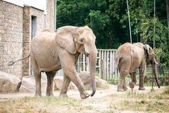 Elefante africano no jardim zoológico Fotos de Stock