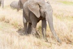 Elefante africano no parque nacional de Serengeti Fotos de Stock