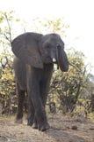 Elefante africano no parque nacional do kruger Fotos de Stock