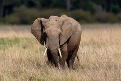 Elefante africano no safari em Masai Mara, Kenya fotos de stock